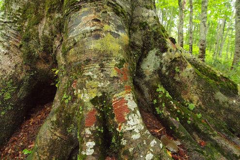 カヤの平高原 ブナの木