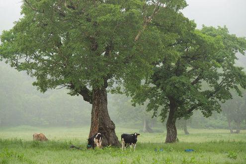 カヤの平高原 放牧牛