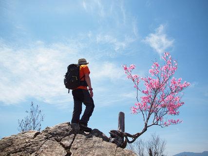 満開の両神山頂アカヤシオ(赤八染)